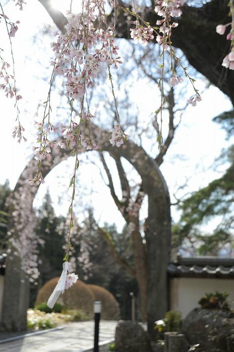 去年の長谷寺の枝垂れ桜