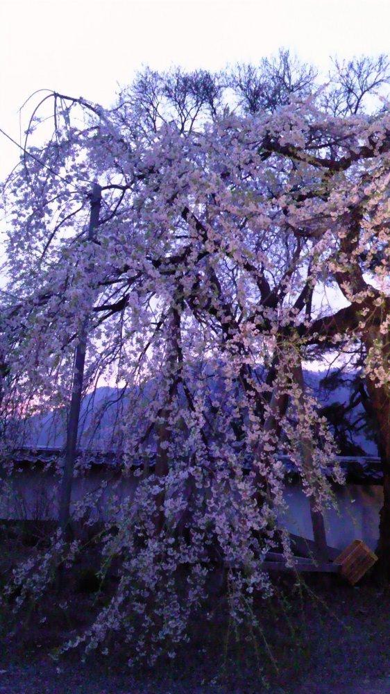 長谷寺の枝垂れ桜・2