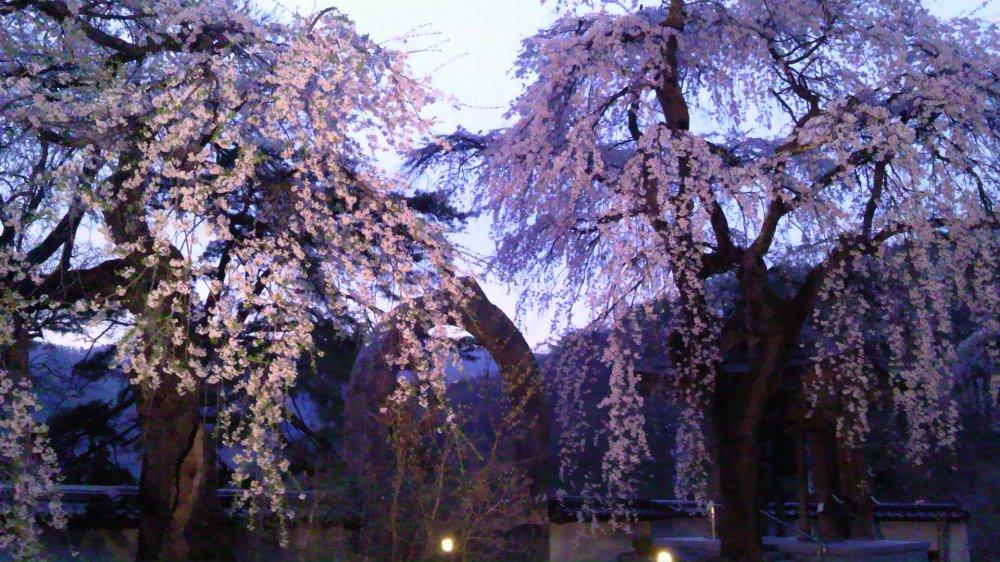 長谷寺の枝垂れ桜・3