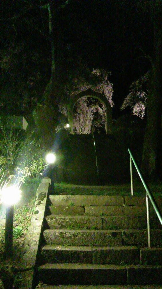 長谷寺の枝垂れ桜・4